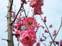 红色梅花高清图片