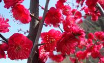火红的红梅图片