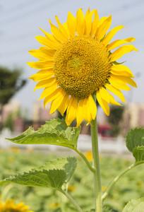 金黄的太阳花