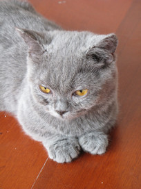 可爱的小猫英短