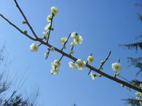 蓝天背景白色梅花