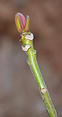 绿色枝条和红色嫩芽