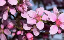 茂密的桃花花朵