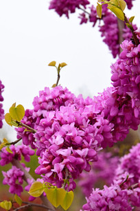 盛开的紫荆花