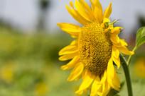 一朵金黄的葵花