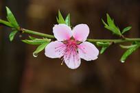 雨后的桃花特写图