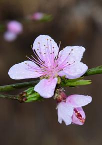 雨后桃花特写图片