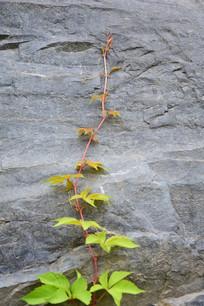 正在攀爬的粉嫩枝条