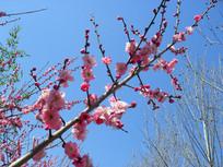 枝头的粉红梅花