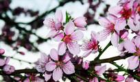 枝头的桃花盛开