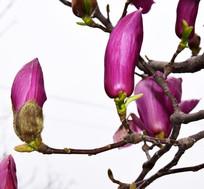 枝头上的粉红玉兰