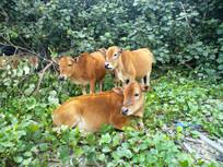 荷包岛上的野黄牛