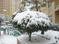 积雪覆盖的常青树