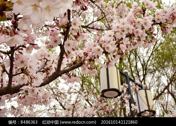 盛开的樱花图片