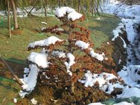 树木上的积雪