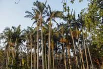 高大热带植物