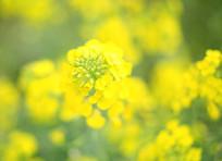 黄色菜花开了