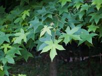色木槭树叶