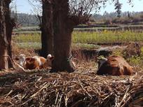 树下的耕牛