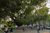校园大榕树