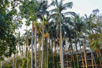 校园风情椰树