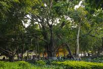 校园古榕树