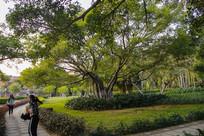 园艺榕树林