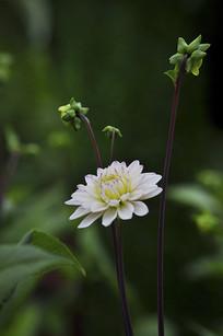 含苞待放的粉色的大丽花