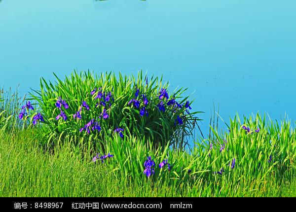 森林湖泊马兰花盛开图片
