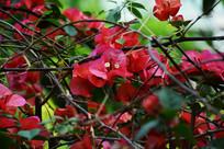 盛开的红色藤蔓花