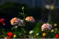 月季花风景图片