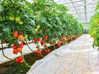 大棚西红柿