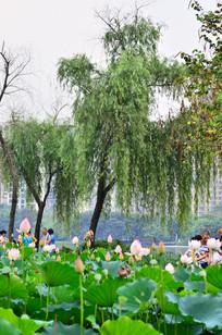 荷花池边的垂柳风景图片