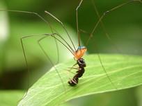盲蛛捕食黑蚂蚁