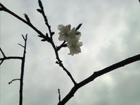 南山一支樱花