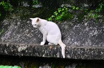 一只可爱的小白猫