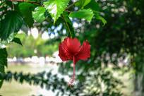 倒挂的大红花