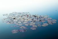 浮现在水面的荷叶