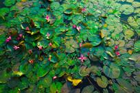 水面的莲花