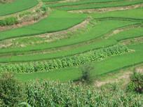 夏季哀牢山的稻田及烤烟地
