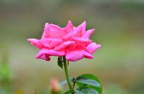一朵粉红的月季花