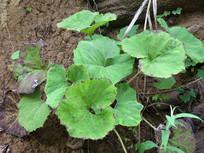 蜂斗菜枝叶