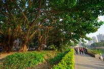 惠州南湖边的大树