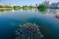 惠州南湖水面的莲花
