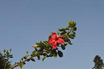 蓝天下的一枝扶桑花