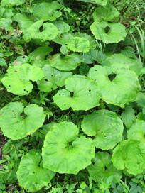 绿色蜂斗菜
