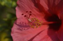 扶桑花花蕊