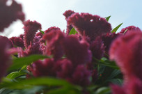 红鸡冠花朵