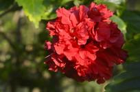 红色重瓣朱槿花