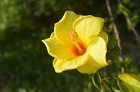 花大形美的黄扶桑